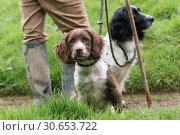 Купить «Springer spaniel gundog puppy, in liver and white with an adult black and white dog in the background with their master», фото № 30653722, снято 16 июля 2017 г. (c) Ingram Publishing / Фотобанк Лори