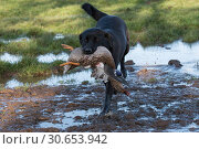 Купить «Labrador retrieving a mallard duck», фото № 30653942, снято 17 июня 2019 г. (c) Ingram Publishing / Фотобанк Лори