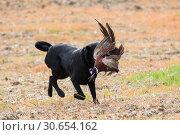 Купить «Black labrador retrieving a male pheasant», фото № 30654162, снято 29 марта 2020 г. (c) Ingram Publishing / Фотобанк Лори