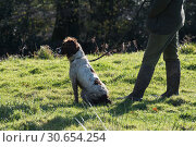Купить «A man out game shooting with his springer spaniel», фото № 30654254, снято 5 августа 2020 г. (c) Ingram Publishing / Фотобанк Лори