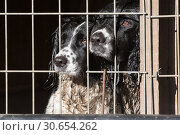 Working springer spaniels waiting patiently in thier crate. Стоковое фото, агентство Ingram Publishing / Фотобанк Лори