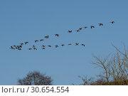 Canada Geese in formation. Стоковое фото, агентство Ingram Publishing / Фотобанк Лори