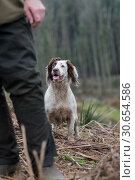 Купить «Portrait of a working liver and white springer spaniel on a game shoot», фото № 30654586, снято 23 июля 2019 г. (c) Ingram Publishing / Фотобанк Лори