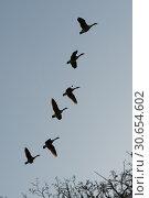 Купить «Canada Geese flying in formation», фото № 30654602, снято 16 сентября 2019 г. (c) Ingram Publishing / Фотобанк Лори