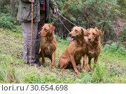 Купить «A woman with her three working gundogs; fox red labradors», фото № 30654698, снято 5 июня 2020 г. (c) Ingram Publishing / Фотобанк Лори