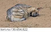 Купить «Sweet Dreams. Striped hyena (Hyaena hyaena) sleeping», фото № 30654822, снято 20 апреля 2019 г. (c) Валерия Попова / Фотобанк Лори