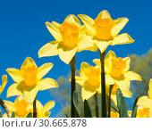 Красивые желтые нарциссы в солнечный весенний день на фоне синего неба. Стоковое фото, фотограф E. O. / Фотобанк Лори