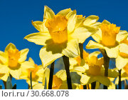 Красивые желтые нарциссы в солнечный день весной на фоне синего неба. Цветы крупным планом. Стоковое фото, фотограф E. O. / Фотобанк Лори