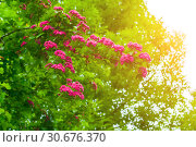 Купить «Цветущий боярышник. Spring flower landscape. Hawthorn tree blooming pink flowers, in Latin Crataegus Laevigata», фото № 30676370, снято 19 июня 2015 г. (c) Зезелина Марина / Фотобанк Лори