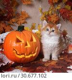 Купить «The kitten breed British shorthair, Golden Chinchilla color, sits next to an orange pumpkin on a background of autumn leaves. Halloween celebration», фото № 30677102, снято 22 апреля 2019 г. (c) Ирина Кожемякина / Фотобанк Лори