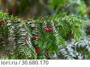 Купить «Тис ягодный (Taxus baccata)», фото № 30680170, снято 18 сентября 2016 г. (c) Татьяна Белова / Фотобанк Лори