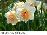 Купить «Double-flowered Narcissus Flower Parade, spring perennial plants of Amaryllidaceae (amaryllis) family», фото № 30684242, снято 1 мая 2019 г. (c) Валерия Попова / Фотобанк Лори