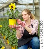 Купить «Female florist checking potted ornamental Helianthus», фото № 30686550, снято 9 апреля 2019 г. (c) Яков Филимонов / Фотобанк Лори