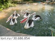 Flock of Australian pelican (Pelecanus conspicillatus) in the pond (2010 год). Стоковое фото, фотограф Юлия Бабкина / Фотобанк Лори