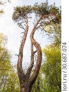 Купить «Сосна с необычным стволом», фото № 30687074, снято 1 мая 2019 г. (c) Алёшина Оксана / Фотобанк Лори