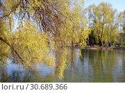 Природа России. Весна. Ива .Sálix The nature of Russia. Spring. Willow (2014 год). Стоковое фото, фотограф Светлана Федорова / Фотобанк Лори
