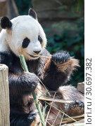 Купить «Giant panda animal.», фото № 30697382, снято 11 января 2016 г. (c) Иван Михайлов / Фотобанк Лори