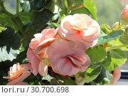 Бегония клубневая (Begonia tuberhybrida) крупным планом. Стоковое фото, фотограф Елена Орлова / Фотобанк Лори