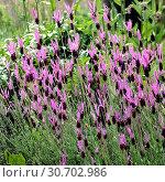 Schopflavendel, Lavandula stoechas, - Стоковое фото, фотограф Zoonar.com/Manfred Ruckszio / age Fotostock / Фотобанк Лори