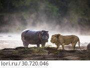 Купить «African Lion (Panthera leo) and Hippopotamus (Hippopotamus amphibus) on the edge of the Olare Orok River, Maasai Mara National Reserve, Kenya, Africa.», фото № 30720046, снято 6 марта 2019 г. (c) age Fotostock / Фотобанк Лори