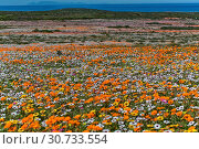 Flowers at namaqua national park. Стоковое фото, фотограф Zoonar.com/matthieu gallet / age Fotostock / Фотобанк Лори