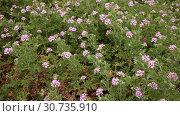 Купить «Image of grassy plant Geranium meadow at sunny day, nobody», видеоролик № 30735910, снято 31 марта 2019 г. (c) Яков Филимонов / Фотобанк Лори