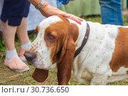 Купить «Portrait of a bloodhound dog», фото № 30736650, снято 10 августа 2018 г. (c) Акиньшин Владимир / Фотобанк Лори