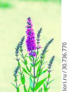 Купить «The herbaceous plant is a willowboot. Close-up.», фото № 30736770, снято 17 августа 2018 г. (c) Акиньшин Владимир / Фотобанк Лори