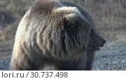 Купить «Портрет камчатского бурого медведя», видеоролик № 30737498, снято 12 мая 2019 г. (c) А. А. Пирагис / Фотобанк Лори