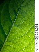 Abstract background green leaf texture. Стоковое фото, фотограф EugeneSergeev / Фотобанк Лори