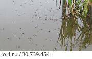 Купить «Водомерки прудовые (Gerris lacustris) на поверхности озера», видеоролик № 30739454, снято 13 мая 2019 г. (c) Игорь Долгов / Фотобанк Лори