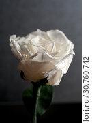 Купить «Close up of white rose», фото № 30760742, снято 16 июля 2020 г. (c) Pavel Biryukov / Фотобанк Лори
