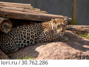 Купить «A leopard, Panthera pardus, in captivity», фото № 30762286, снято 21 сентября 2017 г. (c) easy Fotostock / Фотобанк Лори