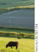 Купить «Cattle grazing in South Downs National Park, West Sussex, England.», фото № 30767154, снято 10 апреля 2019 г. (c) age Fotostock / Фотобанк Лори