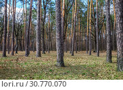 Купить «Day landscape of pine trees in the spring-summer forest, with a bright blue sky with clouds. Bottom view of the sky», фото № 30770070, снято 27 марта 2017 г. (c) Tetiana Chugunova / Фотобанк Лори
