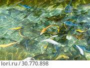 Купить «Цветовые мутанты радужной форели в пруду. Белые, синие, желтые и кобальтовые рыбы в чистой изумрудной воде», фото № 30770898, снято 4 мая 2019 г. (c) Наталья Гармашева / Фотобанк Лори