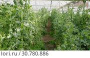 Купить «Rows of peas plants growing in greenhouse farm», видеоролик № 30780886, снято 26 апреля 2019 г. (c) Яков Филимонов / Фотобанк Лори