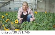 Купить «Positive woman farmer examining plants of decorative sunflower for better growing in greenhouse», видеоролик № 30781746, снято 25 апреля 2019 г. (c) Яков Филимонов / Фотобанк Лори