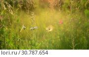 Купить «Beautiful summer landscape with grass at sunset. Russia», видеоролик № 30787654, снято 28 июня 2018 г. (c) Володина Ольга / Фотобанк Лори