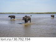 Купить «Buffaloes goes over the drowned meadows. Water Buffalo (Bubalus bubalis bubalis).», фото № 30792194, снято 20 мая 2019 г. (c) Некрасов Андрей / Фотобанк Лори