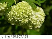 Купить «Калина Бульденеж, или Снежный шар (лат. Viburnum opulus var sterile)», эксклюзивное фото № 30807158, снято 18 мая 2019 г. (c) lana1501 / Фотобанк Лори