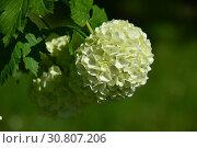 Купить «Калина с шарообразными зеленовато-белыми цветами Бульденеж, или Снежный шар (лат. Viburnum opulus var sterile) весной», эксклюзивное фото № 30807206, снято 18 мая 2019 г. (c) lana1501 / Фотобанк Лори