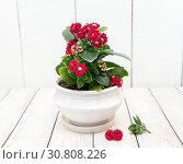 Купить «Цветущий Каланхоэ. Красивый комнатный цветок в горшочке», фото № 30808226, снято 9 мая 2019 г. (c) Наталья Осипова / Фотобанк Лори
