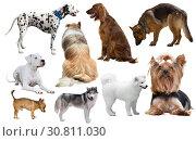 Купить «dog breed isolated», фото № 30811030, снято 10 декабря 2019 г. (c) Яков Филимонов / Фотобанк Лори