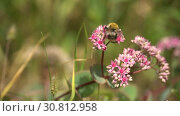 Купить «Bumblebee on pink flowers on sunny day. Pink bushes of flowers in garden or park», видеоролик № 30812958, снято 31 марта 2020 г. (c) Dmitry Domashenko / Фотобанк Лори
