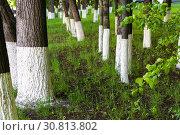 Купить «Tree trunks treated with an insect lime», фото № 30813802, снято 18 мая 2019 г. (c) Володина Ольга / Фотобанк Лори