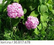 Купить «Розовая гортензия (Hydrangea) в саду», фото № 30817678, снято 23 июля 2011 г. (c) Елена Орлова / Фотобанк Лори
