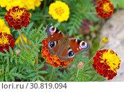 Купить «Бабочка Павлиноглазка (лат. Saturniidae) на цветке бархатца», фото № 30819094, снято 22 июля 2018 г. (c) Елена Коромыслова / Фотобанк Лори