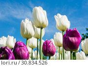 Купить «Белые и пурпурные тюльпаны на фоне голубого неба в весенний солнечный день», фото № 30834526, снято 16 мая 2019 г. (c) E. O. / Фотобанк Лори