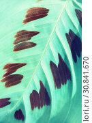 Купить «Tropical maranta leaves. Maranta leuconeura, leaves closeup. Maranta leuconeura is native to the Brazilian Rainforest», фото № 30841670, снято 5 мая 2018 г. (c) Зезелина Марина / Фотобанк Лори